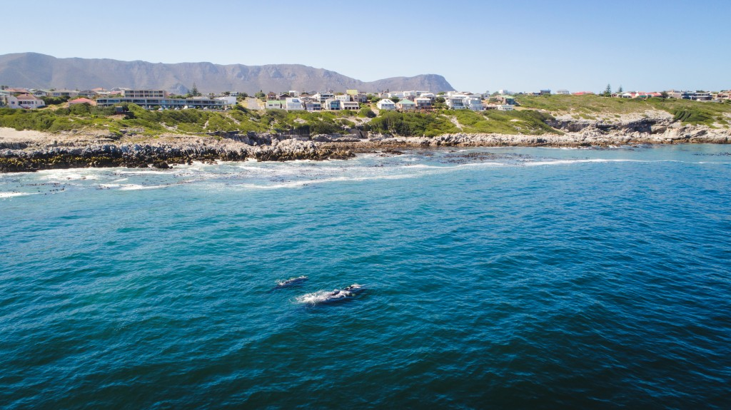 Aerial view over a Southern Right Whale and her calf along the o